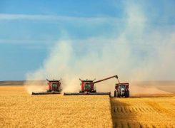 گندم در مزارع استان